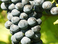 st croix - 300Pcs a Set St Croix Black good juicy Vitis vinifera Grape Fruit Seed For You Rare Cherish It home garden friend