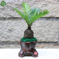 sementes de árvores china venda por atacado-Sementes potting varanda China Sago Cycas Sementes Chinês Bonsai Sementes Da Árvore Isto é 100% Verdadeira Semente 1 pcs t020