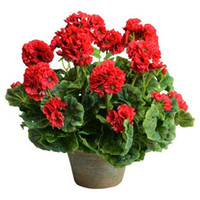 Wholesale Red Flower Beds - Red Geraniums Flower 20 Pcs Seeds DIY Home Garden Perennial Containers Bedding Flower Plant Free Shipping