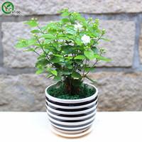 ingrosso bonsai di gelsomino-Semi di gelsomino Semi di fiori bonsai Giardino domestico Semi di fiori bonsai Piante in vaso Fiori 30 Particelle / Sacchetto t018