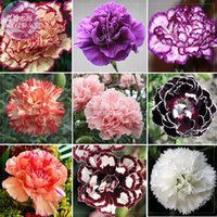 BELLFARM Carnation Giant Mixed Sweet Fragrante Fiori Semi, 1000 semi / set, confezione professionale, bicolore viola arancio bianco nero