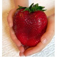 Wholesale Giant Red Strawberry Seeds Rarest Heirloom Super Giant Japan Strawber Seeds Garden Your Best Choice