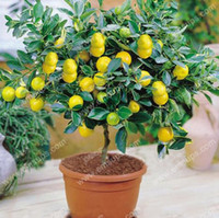 Wholesale Citrus Seeds - A Package 50 Pcs Citrus limon Tree Seeds Fruit Garden Terrace Seed Orchard Farm Family Potted Bonsai Tree Lemon Seeds