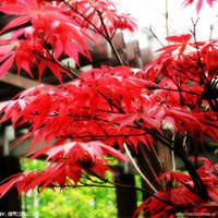 Wholesale Cheap Wholesale Bonsai - 100% True Japanese Red Maple Bonsai Tree Cheap Seeds, Professional Pack, 10 Seeds   Pack, Very Beautiful Indoor Tree