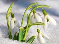 ingrosso fiori da giardino comuni-Spedizione gratuita Galanthus nivalis semi 200 PZ Comune Bucaneve Semi di fiori Bellissimo giardino Piante congelamento Bonsai balcone fiore