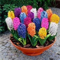 Wholesale Hyacinth Planting - 500pcs bag hyacinth seeds bonsai Flower Seeds (not hyacinth bulb) Hydroponic flower So Fragrant Forever Missing outdoor plant
