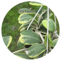 Wholesale 100Pcs a set Hoya kerrii Seed Hot Rare Seed Retail And Contact Seller Iris Thank You
