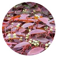 Wholesale Hot Journey - 100pcs a set Euphorbia cotinifolia Seed Hot Rare Seed Great Quality Great Service Great Price For You Life Is A Journey