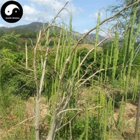 Wholesale Lam Wholesale - Buy Real Moringa Oleifera Tree Seeds 40pcs Plant Drumstick Tree Grow Moringa Oleifera Lam.