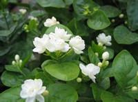sementes de plantas de jasmim venda por atacado-Sementes de flor de jasmim 50 unidades / pacote de sementes de jasmim branco, planta perfumada sementes de jasmim árabe