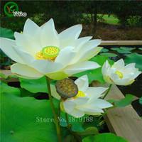 семена лотоса лилии оптовых-10 шт. / пакет цветок лотоса семена лотоса водные растения чаша лотоса водяная лилия семена многолетнее растение для домашнего сада