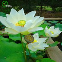 Wholesale aquatic seeds - 10pcs bag lotus flower lotus seeds Aquatic plants bowl lotus water lily seeds Perennial Plant for home garden