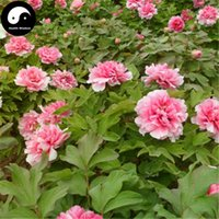 Common paeonia plant - Buy Real Peony Tree Seeds Plant Chinese Flower King Paeonia Suffruticosa Andrews