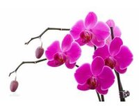 species butterflies - 20 seeds pack butterfly orchid species Phalaenopsis orchid seed when flowering potted Phalaenopsis