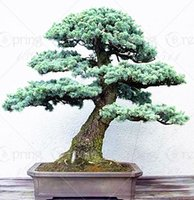 Wholesale 88 BAG JAPANESE CEDAR Semillas bonsai seeds FOR home decoration