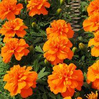 Wholesale Marigolds Flowers - FRENCH-MARIGOLD-PETITE-ORANGE-60-seeds-Tagetes-Patula-nana-ANNUAL-FLOWER