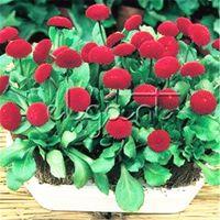 красные садовые цветы оптовых-Красный английский цветок ромашки 500 семян Беллис Ромашка легко выращивать удивительные многолетние сад бонсай горшок цветущее растение