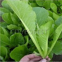 Wholesale Vegetable Fast - 1000 Pcs Seeds Small Bok Choy Pak Choi Chinese Green Stem Cabbage Fast Four -growing Season DIY Home Garden NON-GMO Vegetable QingCai