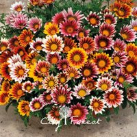 Wholesale Growing Perennials - Gazania Perennial Flower 100 Seeds Treasure Flower Easy to Grow from Seeds for Flower Beds or Containers