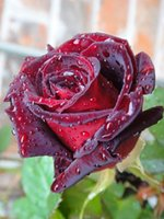 Wholesale Blood Fasting - Blood Rose Flower Seeds Cheap Free Fast Shipping 200Pieces Per Package Usually 12 To 15 Work Days To Your Home