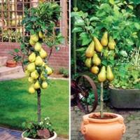 potes de plantas chinesas venda por atacado-Wholesale10 PC mini em vasos de sementes de pereira, chinês de alta qualidade fruit plantsbonsai planta jardim
