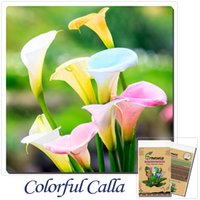 Wholesale Flower seeds PC bonsai colorful calla lily seed rare plants flowers Home gardening DIY