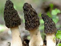 Wholesale Mushroom Seeds - 500Pcs a Set Black Morel Mushroom Morchella elata HOT SEED Home Garden Reasonable Choice Gift For Your Friend