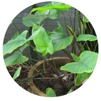 Wholesale 200Pcs a set Homalomena occulta Seed DwarfGiantFarm Retail And Contact Seller Iris Thank You