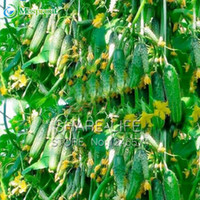 mini semillas de vegetales al por mayor-Semillas de Hortalizas Verdes Dutch Cucumber Cuke Seeds - 20 semillas de Mini Fruit Cucumbert