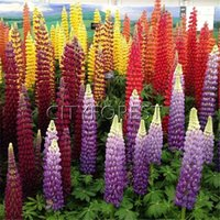 Wholesale colorful bedding - Lupine 25 Pcs Seeds   Packet Perennial Hardy Lupinus poyphyllus Flower Popular Colorful Landscape Garden Container Flower Beds Balcony