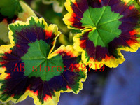 ingrosso cresce i semi di perenni-100 pezzi rari giappone Semi di geranio Fiore perenne Pelargonium Peltatum Stanze interne per piante ornamentali Facile da coltivare