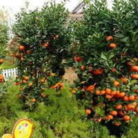plantas laranja venda por atacado-65xy sementes de frutas sementes de laranjeira anão em pé laranjas planta interior em vaso de decoração de jardim plantas para casa venda quente kk