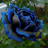 Wholesale Home Works - Midnight Supreme Rose Blue Color Flower Seeds Cheap Free Fast Shipping 200Pieces Per Package Usually 12 To 15 Work Days To Your Home
