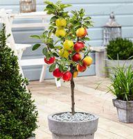 apple tree großhandel-GroßhandelZwerg Bonsai Apfelbaum 20 Samen Pick Delicious Fruitsbonsai Pflanzengarten
