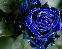 Wholesale Midnight Blue Wedding - Midnight Rose Blue Color Flower Seeds Free Shipping Beautiful Hot Selling Wedding Flowers Seeds 100 Pieces Per Package