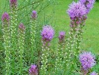 Wholesale 100Pcs a Set Liatris spicata Seed Rare Seed Home Garden Reasonable Choice Reasonable Price Rare Seed For You