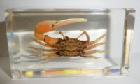 Mictyris Brevidactylus Specimen LearningEducation Geschenke Resin Embedded Crab Transparente Maus Paperweight Kids Beliebte Science Playing Toys