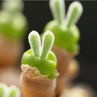 Wholesale rabbit shapes - 100 seeds pack succulents seeds rabbit shape seeds Monilaria obconica bunny seeds0