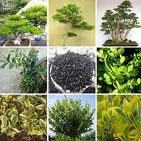 Mini Potted Chinese Boxwood Semillas Perenne Plantas Woody Potted Bonsai Buxus Árbol Semillas 100 Piezas / Lote