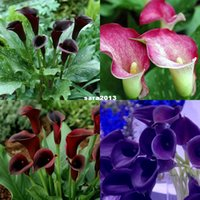 Seeded blumensamen calla lily lampen blume indoor bonsai pflanze bonsai zimmerpflanzen (vier ball)