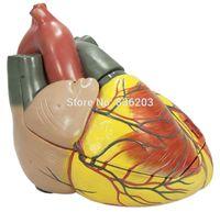 Wholesale Giant Advanced - Wholesale- 3 times Anatomical Advanced Giant Anatomical Human Heart Model anatomy skull brain model mixer in trauma esqueleto anatomia