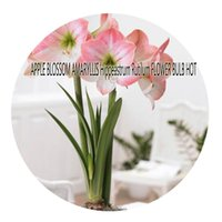 blossoms service - 5pcs a set APPLE BLOSSOM AMARYLLIS Hippeastrum Rutilum FLOWER BULB Hot Rare Bulb Great Quality Great Service Great Price