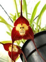 Wholesale orchid flower plants - 100 Piece Potted Peru Monkey Face Orchid Seeds ,Orchis Simia Senior Phalaenopsis Bonsai Plants Flower Seeds
