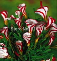 sementes de oxalis venda por atacado-AtacadoBonsai sementes de flores Oxalis versicolor sementes de flores 100 PCS Raro Flowersplant do mundo bonsai