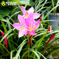 Wholesale flower seeds for sale resale online - Hot Sale Pink Daffodils Seeds Beautiful Bonsai Daffodil Flower Seeds Clean Air Narcissus Seeds Flowers for Rooms