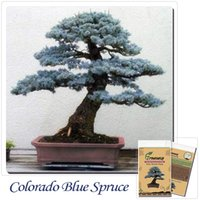 Tree Seeds blue evergreen trees - Bonsai Colorado Blue Spruce Picea pungens seeds Evergreen tree