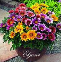 Wholesale Gazania Flower - 100 Pcs Gazania Treasure Flower Seeds for DIY Home Garden Perennial Flower Bed or Containers Growing Long Blossom Period
