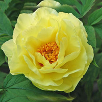 Common paeonia flower - Rare Chinese Yellow Peony Seeds Beautiful Flower Garden and Bonsai Plants Paeonia suffruticosa Seeds
