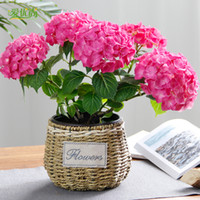 blooming hydrangea - 20pcs seed potted hydrangea flower living room balcony indoor flowering plants garden blooming plant seeds of air purification