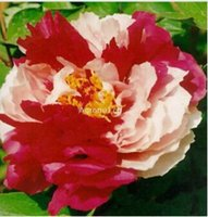 Wholesale Peonies Seeds - 5pc lot chinese peony seeds Flower seeds Free shipping